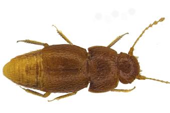 Winziger Käfer nach Greta benannt