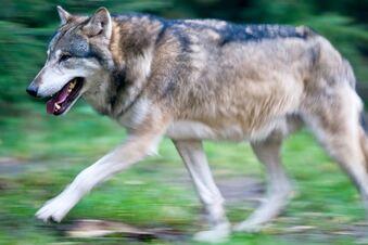 Wolfsbüro sieht keine Gefährdung