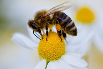 So wird aus dem Garten ein Wildbienen-Paradies