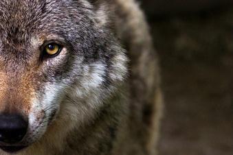 """""""Vom Wolf verursachter Schaden ist irreversibel"""""""