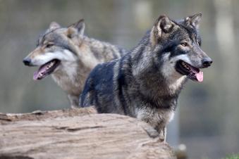 Leben mit dem Wolf - zwischen Angst und Resignation