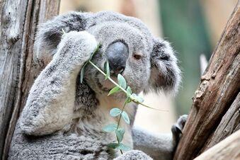 Koala im Zoo Leipzig wird EM-Orakel