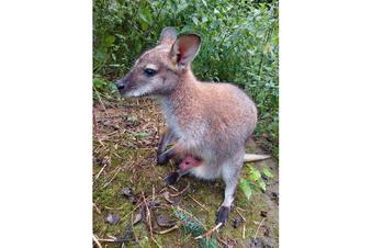 Das letzte Meißner Känguru-Baby?