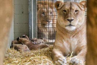 Leipziger Zoo zeigtLöwen-Fünflinge