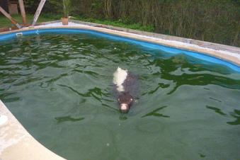 Feuerwehr rettet Kuh aus Pool