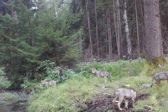 Das erste Foto von den Wölfen in der Dresdner Heide