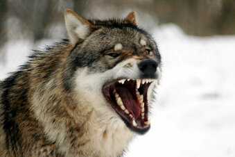 Wann darf ein Wolf geschossen werden?