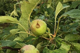 Apfelernte bei Obstland verhagelt