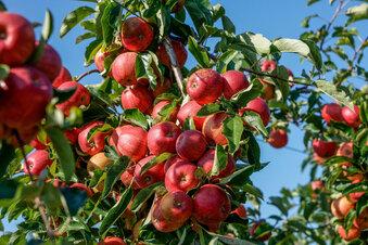 Schirgiswalde: Apfelfest trotz Corona