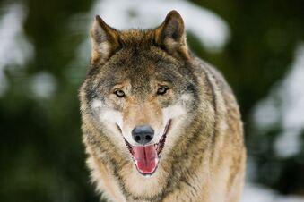 Scharfe Kritik an Wolfsschützern