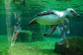 Zoo Dresden: Kleine Pinguine auf Tour