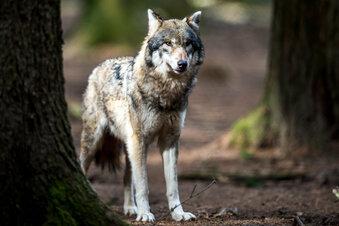 Wann dürfen Wölfe abgeschossen werden?