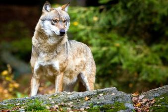 Wolfsrudel siedelt sich in Dresdner Heide an