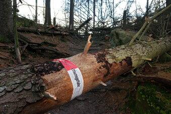 Gefahr im Nationalpark: Fichten knicken um