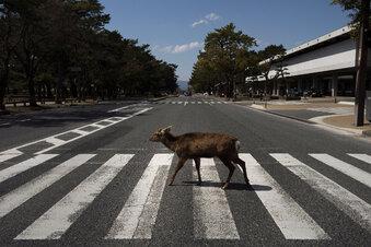 Wildtiere erobern dank Corona die Städte