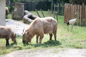 Mehr Platz für Goldtakine im Dresdner Zoo