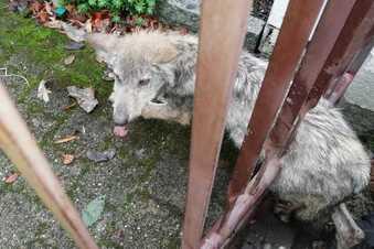 Wolf irrt in Dresden herum