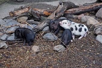 Riesa: Ferkel-Taufe im Tierpark