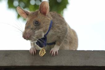 Ratte erhält einen Orden
