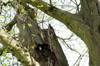 Warum die Baumriesen im Pückler-Park fallen mussten