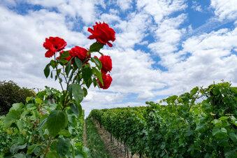 Das Coronavirus des Weines