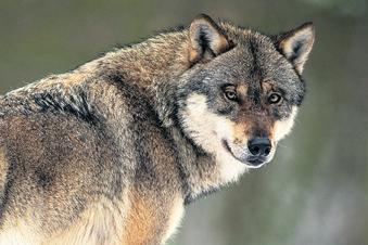 Der Wolf ist Thema in Waldheim