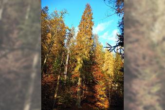 Der höchste Baum Sachsens stirbt