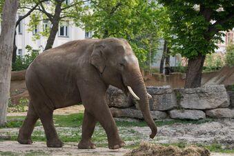 Zoo Leipzig hält an Elefantenzucht fest