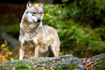 Wolf reißt Schafe in Burkau