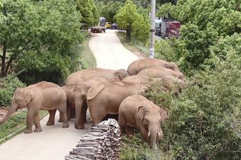 Chinas wandernde Elefanten gehen nach Hause