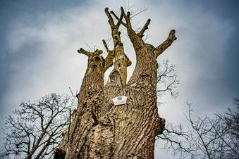 Pulsnitz: Ärger über Baumverschnitt