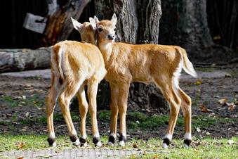 Zoo Dresden: Die Antilopen-Babys sind da