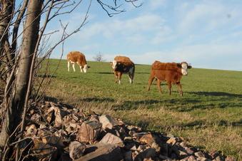 Rinderherde sorgt für gesperrte Autobahn