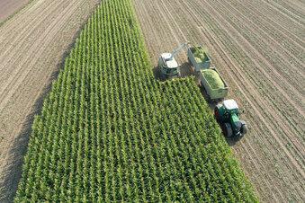 Männer im Mais