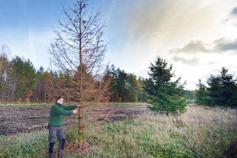 Die gestressten Weihnachtsbäume in der Dresdner Heide