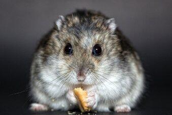 Wenn der Mensch zum Hamster wird