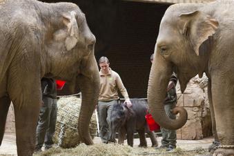 Leipziger Zoo kämpft um Elefanten-Baby