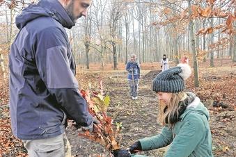 Pückler-Park versucht resistentere Bäume
