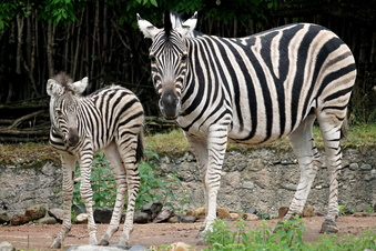 Wieder Zebra-Nachwuchs im Dresdner Zoo