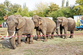 Amt sieht keine Probleme bei Zirkus-Elefanten