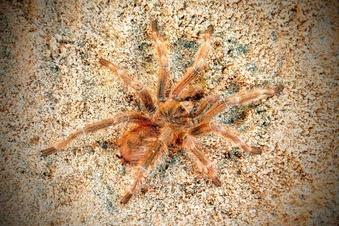 Attacke mit Vogelspinnen