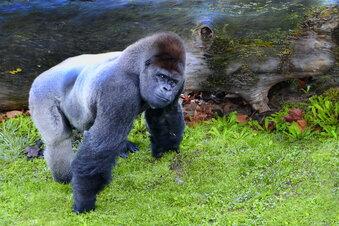 Gorilla erholt sich nach Corona-Infektion