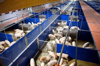 Weitere Hausschweine haben Schweinepest