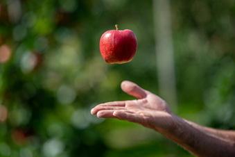 Obstland erwartet in Leisnig gute Apfelernte