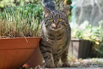 Vermisste Katzen im Kreis Bautzen: Das sagt die Polizei