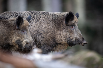 Auto fährt in Wildschwein-Rotte
