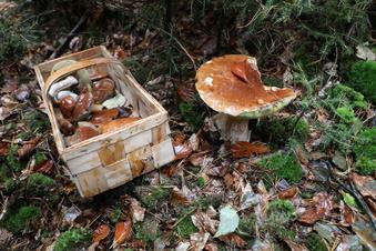 Pilze in Sachsen: Experten warnen vor Giftexemplaren