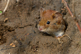 Mäuseplage auf Döbelns Feldern