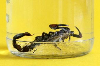 Skorpion in Dresdner Markt gefunden