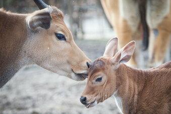 Dresdner Zoo plant Öffnung ab Montag